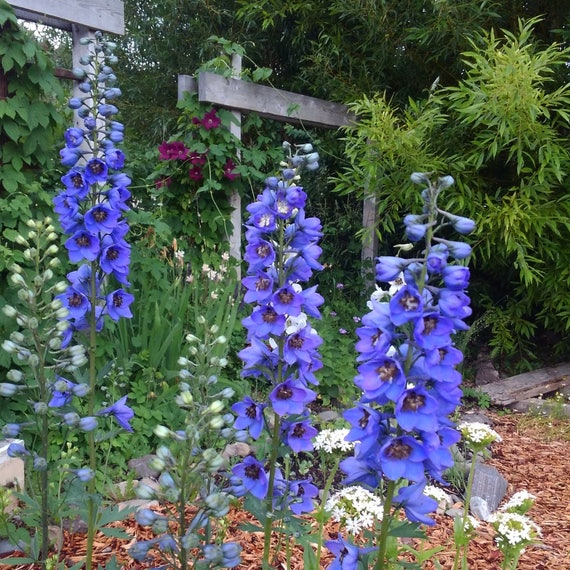 Blue delphinium flower seeds tall delphinium seeds rare etsy image 0 mightylinksfo
