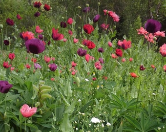 Poppy Seed Mix, Rare Poppy Flower Seeds, Poppy Seeds, Rare Poppies, Papaver Somniferum Seeds, Seeds for Sale, Colorful Poppy Seeds