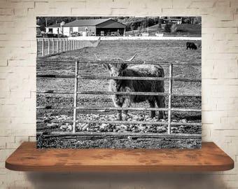 Scottish Highland Cattle Photograph - Fine Art Print - Black White Photography - Wall Art Decor - Farmhouse Decor - Cow Pictures - Rustic