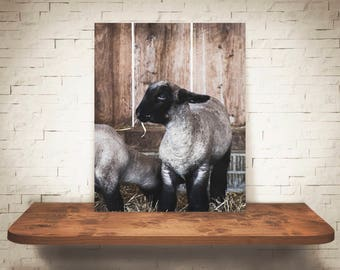 Lamb Photograph - Fine Art Print - Home Wall Decor - Farmhouse Decor - Pictures of Lambs - House Warming Gifts - Wall Art - Country