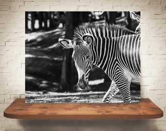 Zebra Photograph - Black White Photo - Fine Art Print - Wall Decor - Pictures of Zebras - Wall Art - Animal Prints