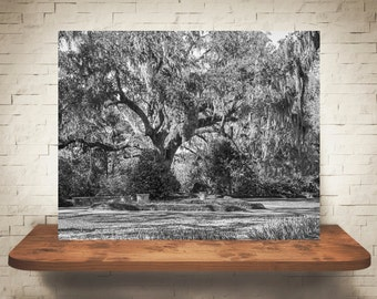 Oak Tree Photograph - Fine Art Print - Wall Decor - Black & White - Southern Decor - Pictures of Trees - Landscape Photo - Moss Covered