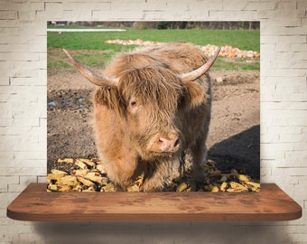 Scottish Highland Cattle Cow Photograph - Fine Art Print - Color Photography - Wall Art Decor -  Farm Pictures - Farmhouse Decor - Cows