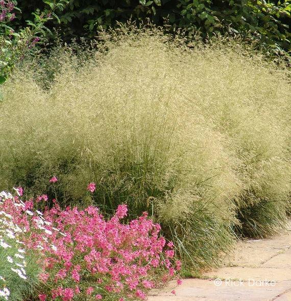 Golden dew tufted hair grass deschampsia cespitosa etsy