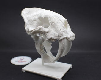 Saber Tooth Cat Smilodon Skull with stand