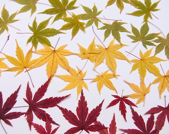 Real Pressed Japanese Maple Leaves (10 pack), Pressed Leaves, Autumn Leaves, Fall Decor, Fall Leaves, Dried Autumn Leaves, Autumn Decor