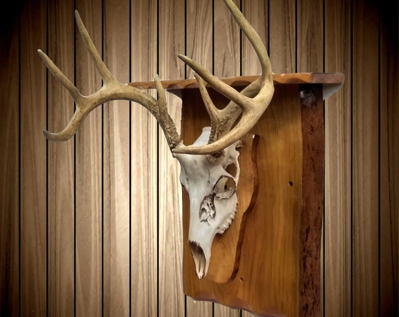 White Tail Deer Skull Mount, European Style Rustic Cherry Wall Shelf, Reclaimed and Handcrafted, Cabin Man Cave Decor, Gift