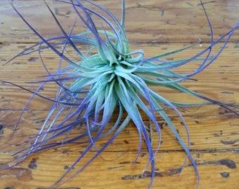Air Plant , Purple Houston  Tillandsia  Bromeliad  Enhanced With Color , Air Plant Decor Plant Decor , Great Gift Idea