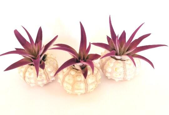 Lot de 3 trois plantes de l'Air Plagiotropica violet violet violet dans coquille d'oursin de mer / plage Decor Decor côtières 26de56