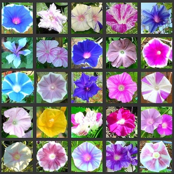 50 seeds Morning Glory