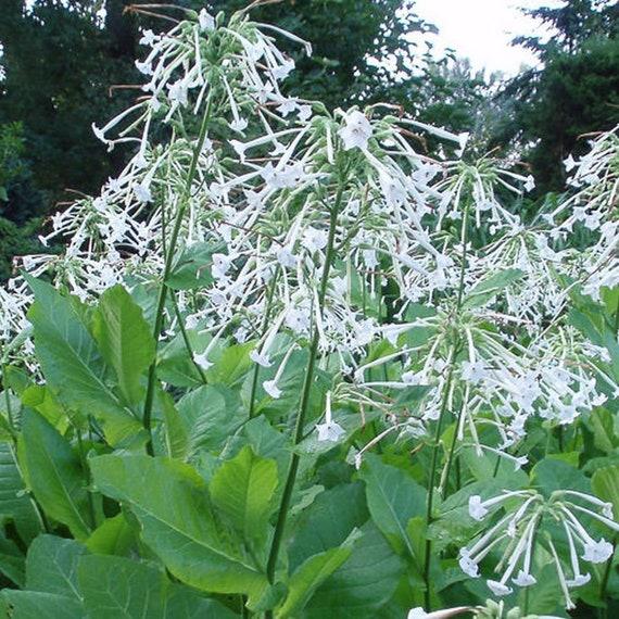 seeds NICOTIANA GLAUCA Tree tobacco 100+ 1000 or 10000