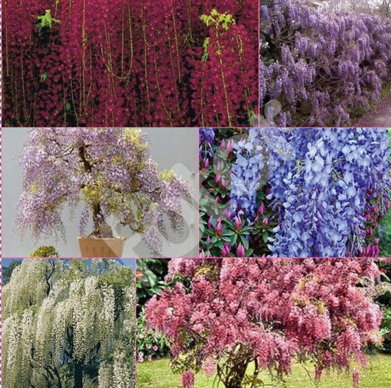 Wisteria Vine 6 Colors And Varieties 10 50 250 Or 1000 Seeds Etsy