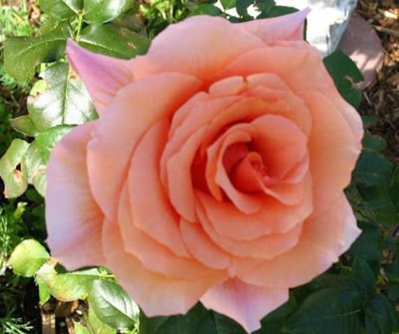 Superb /& Flower Gift to Send for All OcnsSEED SANHOC Seeds Package Rose John BOY