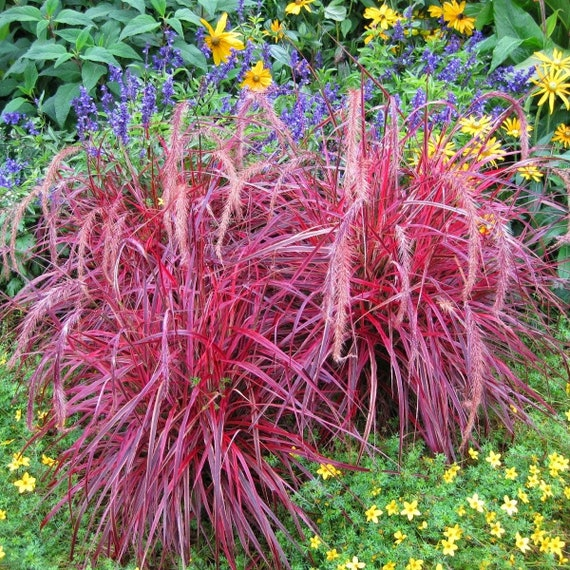 Fountain Grass Pennisetum Setaceum Red 20 200 Or 2000 Seeds Etsy