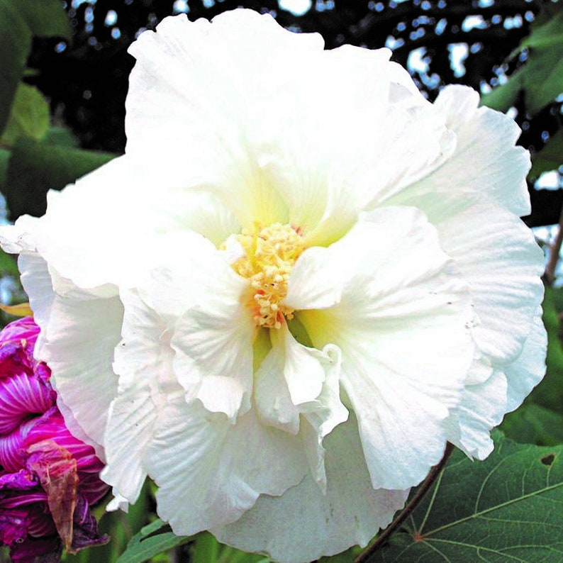 Hibiscus Syriacus Double White Winter Hardy 10 50 250 Or Etsy