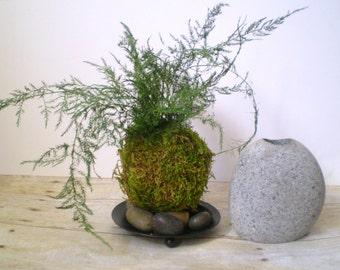 Preserved Asparagus Fern Kokedama, Preserved Plant, Kokedame, Hanging Plant, Moss Ball, Preserved Plant, Plant Stand, Modern Plant