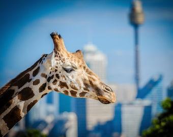 Sydney Zoo, Giraffe Print, Sydney Harbour Bridge, Taronga Park Zoo, Australia Photograph, Nursery Decor, Travel Poster, Birthday Gift for