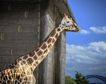 Sydney Zoo, Giraffe Print, Sydney Harbour Bridge, Australia Photograph, Blue Sky fine art, Nursery Decor, Travel Poster, Birthday Gift for