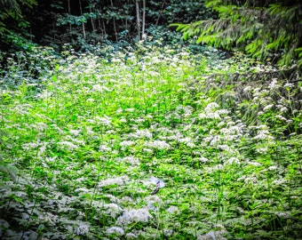 White Flowers in Green Forest, Rīga Latvia, Forest Wall Art, Woodland Nursery Decor, Nature photography print, Enchanted Fairy, baltic pagan
