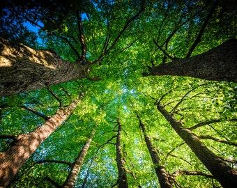Linden Tree Print, Rīga Latvija, Tervēte Park, forest canopy, large nature photograph, eastern europe, scenic wall art, giant park photo