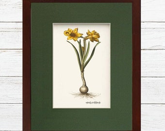 Digital Download Botanical Narcissus Flower Illustration