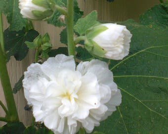 Hollyhock White Double and Single Flower  SEEDS in one pack