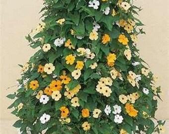 Black Eyed Susan Vine Organic seeds