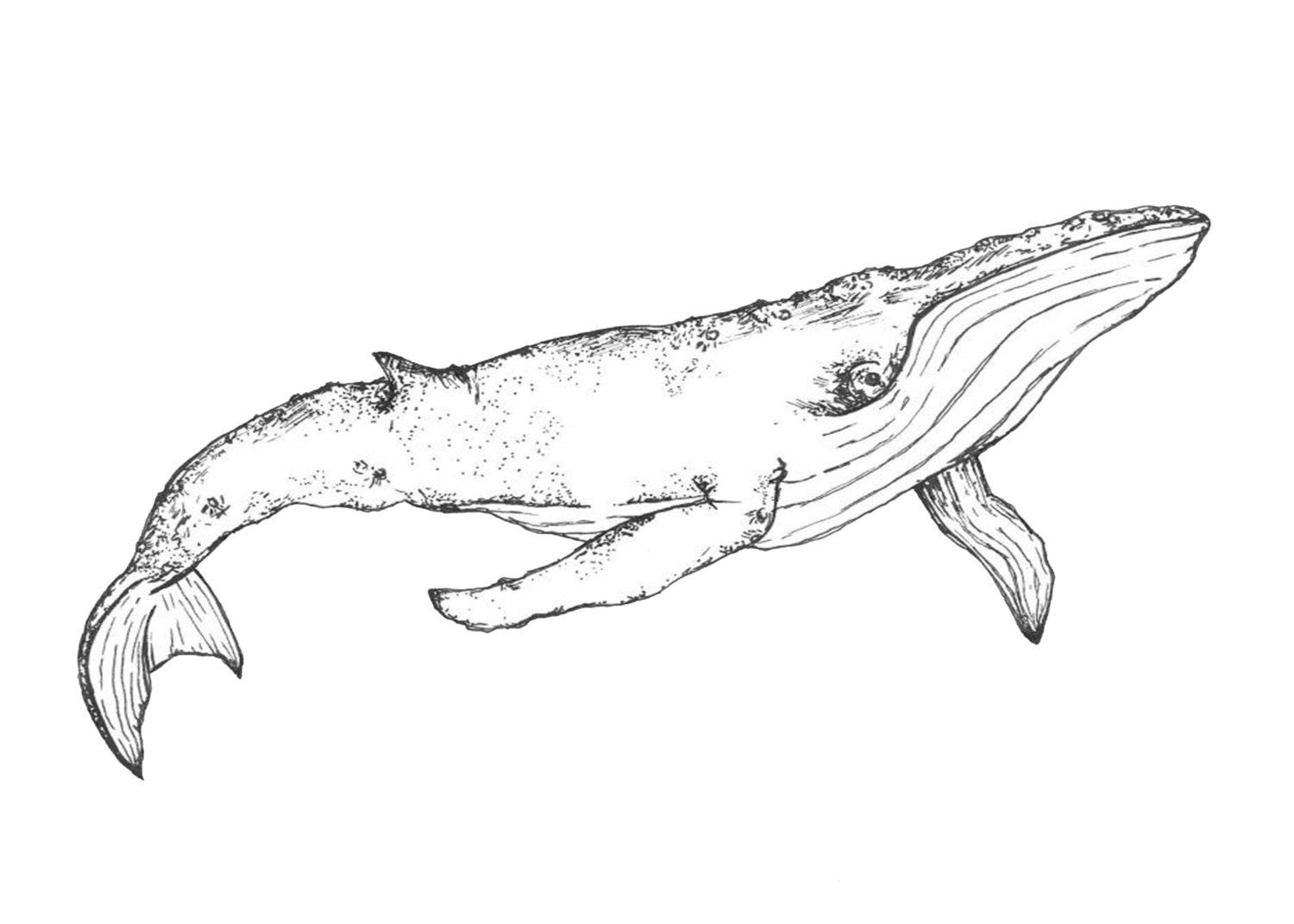 Whale Pen Drawing Printable Digital Download File   Etsy