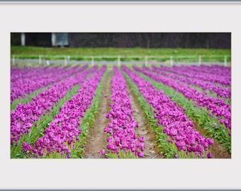 Violet tulips in the rain