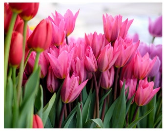 Photo Print of Pink, Red and Purple Tulips from DebSladekPhotography