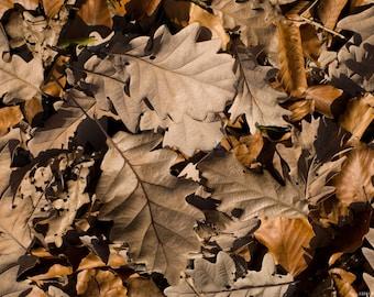 Oak Leaf Litter - Hermit Crab Food