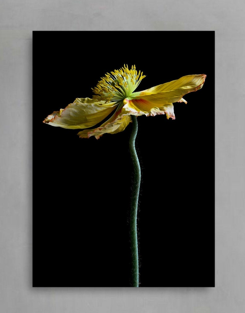 Yellow Poppy Flower Print ~ Still Life Botanical Artwork ~ Macro Nature Photograph ~ Moody Floral Wall Art ~ Modern Kitchen Decor ~ Fine Art