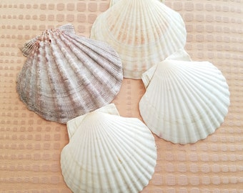 Natural Scallop seashells for baking broiling sourced from Japan set of 4 large shells beach ocean treasure kitchen culinary tools