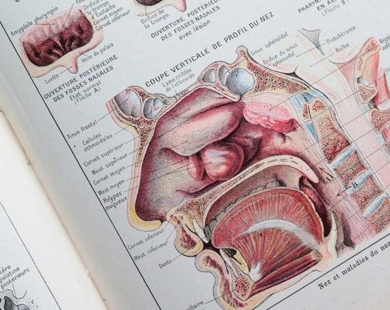 Ancient anatomy illustration, illustration on the nose, Page de Larousse French medical former of 1924, illustration 18 x 26 cm