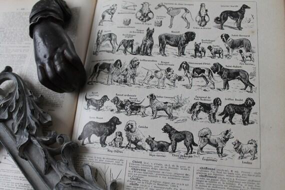 Les chiens illustration ancienne provenant d'un dictionnaire français Larousse ancien 1925 - Page Larousse 20X29cm /Affiche ancienne