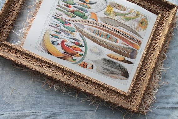 Ancient illustration on bird feathers, dictionary Larousse encyclopedia, original Millot illustration, Board of 1925,