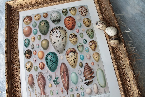 Antique illustration on eggs from the dictionary Larousse Encyclopaedia, original illustration Millot, Board of 1925,