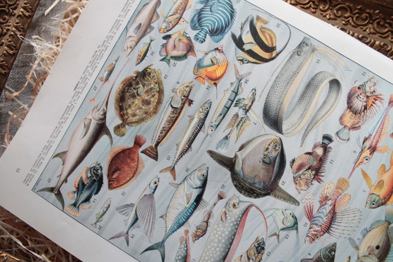Old illustration Board fish 1932 Larousse, dictionary Larousse, ancient poster, poster, 40 fish