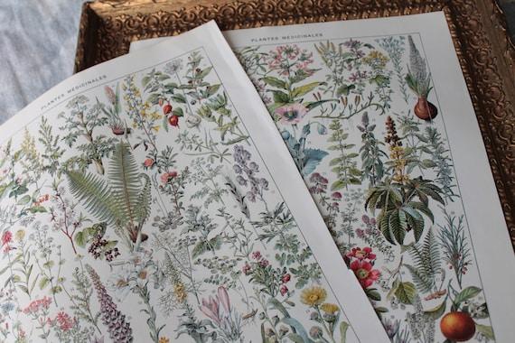 2 ancient illustrations, medicinal plants, Dictionnaire Larousse encyclopedia, original Millot illustration,