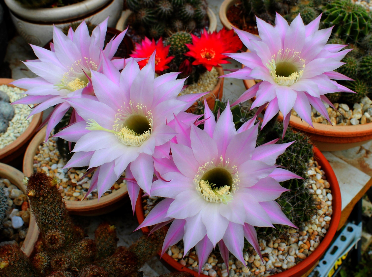 Cactus Seeds 40 Seeds Echinopsis Pink Flowers Cacti Succulent Etsy
