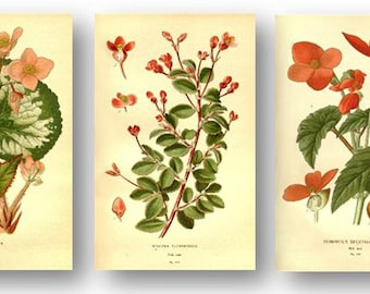 Begonia Flower Antique Botanical Illustration Plates Set of 3 Art Prints Pale Yellow Background