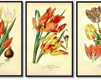 Tulip Flower Antique Botanical Illustration Plates Set of 3 Art Prints Pale Yellow Background