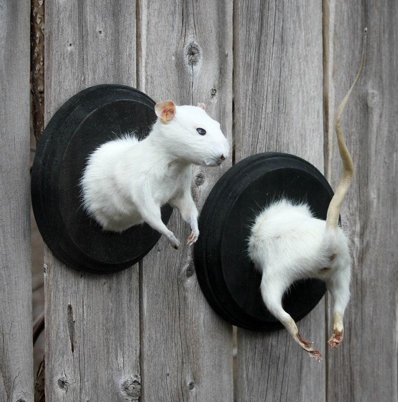 White Taxidermy Rat Front and Rump Set
