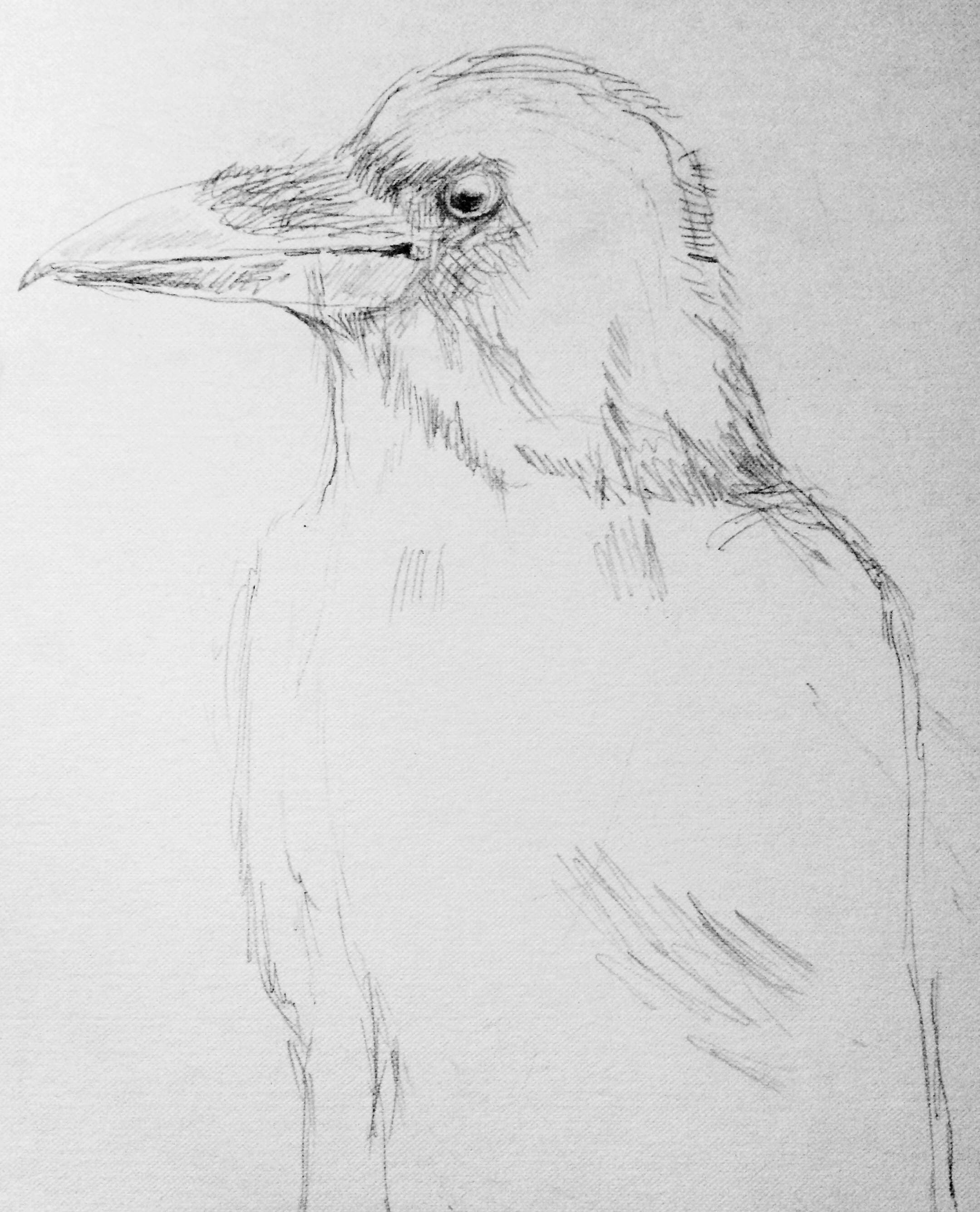 Art print of a pencil drawing of a crow black and white wall art bird