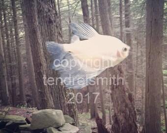 Angelfish, digital download, color photo