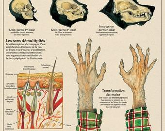 The werewolf / werewolf print - cabinet of curiosities by the artist Camille Renversade Deyrolle poster