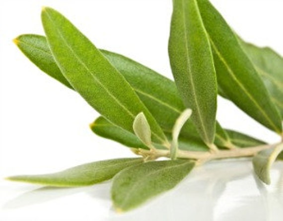 Organic Olive Tree Leaves For Tea Brewing Loose Dried Leaves Etsy