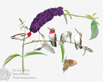 Ruby Throated Hummingbirds Composite (unframed matted print)