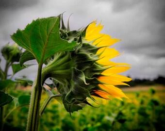 Loire Valley, Sunflower at Champtocé-sur-Loire, France, 2016
