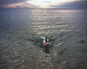 Cape Cod, Dog off Chappaquoit Beach.  Original Art Card